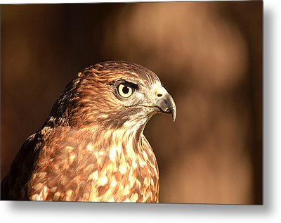 Broad-winged Hawk Metal Print