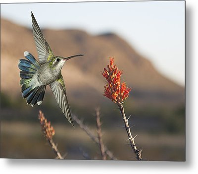 Broadbill Hummingbird And Octicillo Metal Print by Gregory Scott