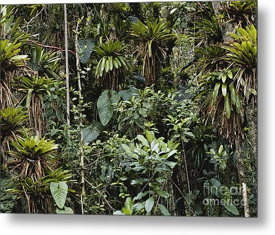 Bromeliads In Colombia Metal Print