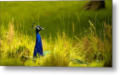Bronx Zoo Peacock Metal Print