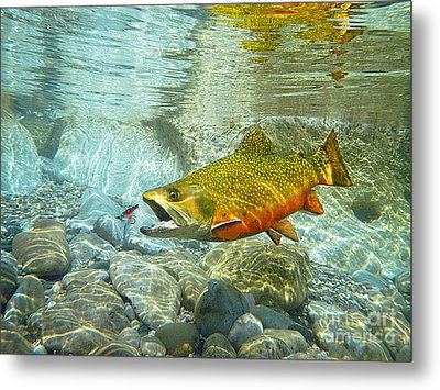Brook Trout And Artificial Fly Metal Print by Paul Buggia