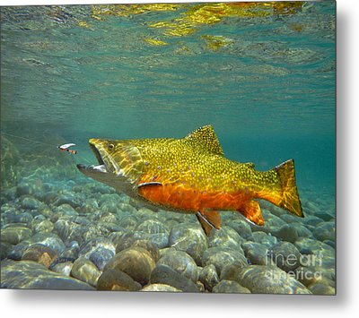 Brook Trout And Royal Coachman Metal Print by Paul Buggia