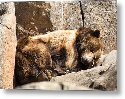 Brown Bear Asleep Again Metal Print by Chris Flees