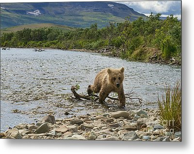Brown Bear Cub Walking Up Stream Trying Keep Up With Mom Metal Print by Dan Friend