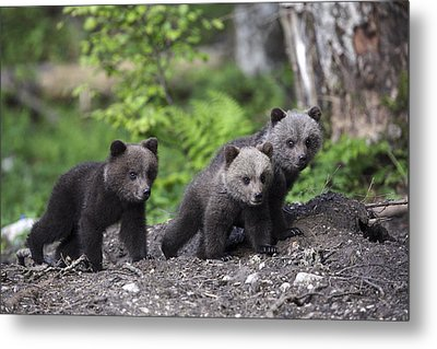 Brown Bear Cubs Croatia Metal Print by Lesley van Loo