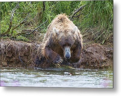 Brown Bear Diving Into The Water After The Salmon Metal Print by Dan Friend