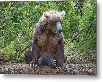 Brown Bear Sitting Waiting For Salmon Metal Print by Dan Friend