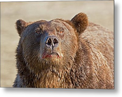 Brown Bear Sniffing Air Metal Print by John Devries