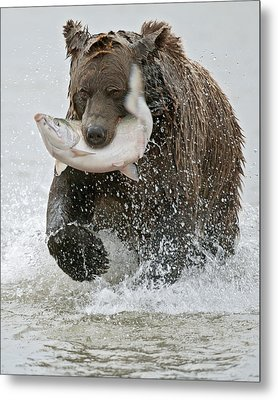 Brown Bear With Salmon Catch Metal Print by Gary Langley