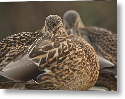 Metal Print featuring the photograph Brown Beauty  by Sabine Edrissi