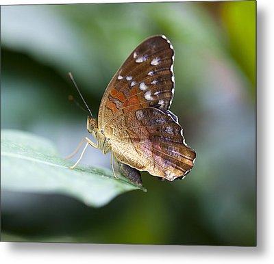 Brown Butterfly Metal Print by Kjirsten Collier
