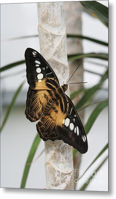 Brown Clipper Butterfly #2 Metal Print by Judy Whitton