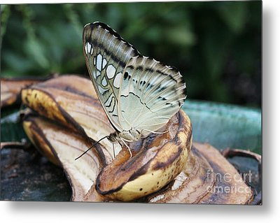 Brown Clipper Butterfly #3 Metal Print