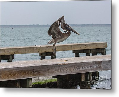 Brown Pelican 1 Metal Print