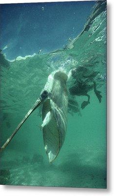 Brown Pelican Catching Mullet Metal Print by Tui De Roy