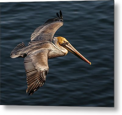Metal Print featuring the photograph Brown Pelican Flying by Lee Kirchhevel