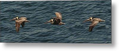Brown Pelican Flying Panorama Metal Print by Lee Kirchhevel