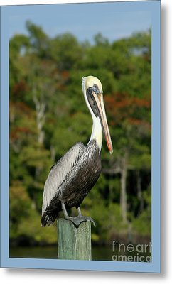 Brown Pelican Metal Print by Heidi Hermes