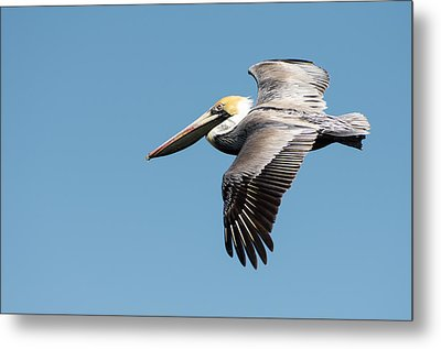 Brown Pelican In Flight Metal Print by Gregg Southard