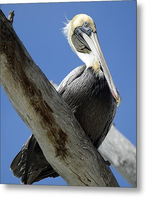 Brown Pelican In Thought Metal Print by Bruce Gourley