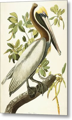 Brown Pelican Metal Print by John James Audubon