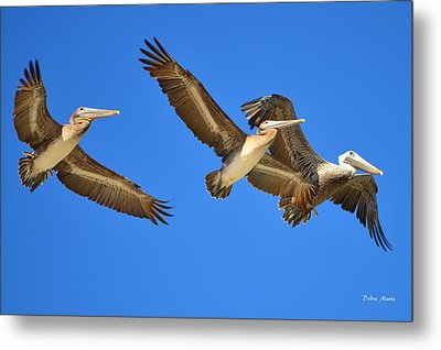 Metal Print featuring the photograph Brown Pelicans In Flight by Debra Martz