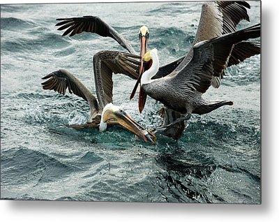 Brown Pelicans Stealing Food Metal Print by Christopher Swann