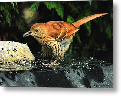 Brown Thrasher Metal Print by Dennis Baswell