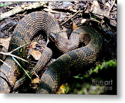 Metal Print featuring the photograph Brown Water Snake by Kathy Baccari