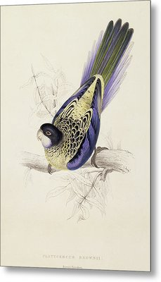 Browns Parakeet Metal Print by Edward Lear
