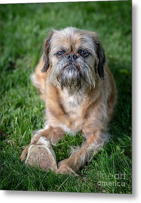 Brussels Griffon Metal Print by Edward Fielding