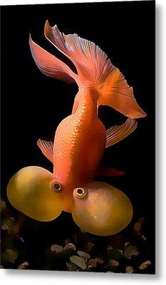 Bubble Eye Goldfish Metal Print by Wernher Krutein