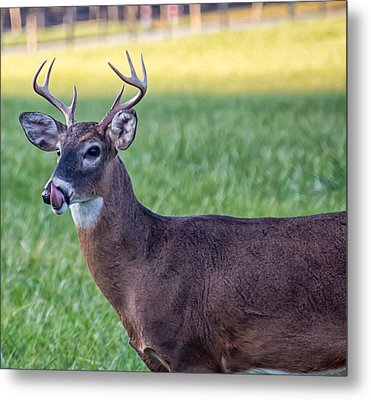 Buck Licking His Chops At Cades Cove Inside Of The Great Smoky Mountains National Park Metal Print