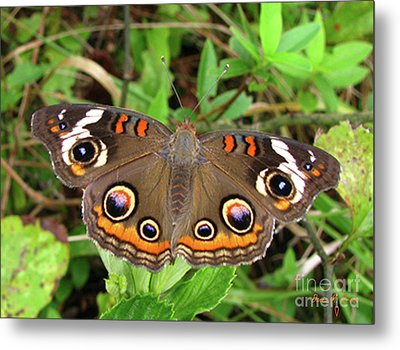 Metal Print featuring the photograph Buckeye Butterfly by Donna Brown