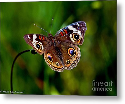 Metal Print featuring the photograph Buckeye Butterfly by Mitch Shindelbower