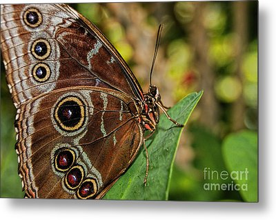 Metal Print featuring the photograph Blue Morpho Butterfly by Olga Hamilton