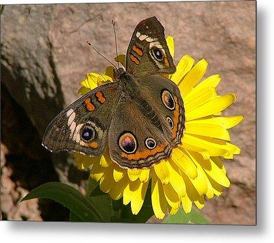 Buckeye Butterfly On Yellow Flower And Rock - 101 Metal Print