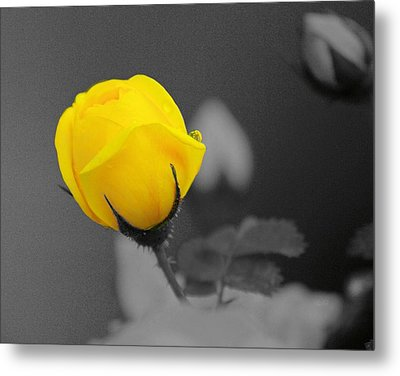 Bud - A Splash Of Yellow Metal Print by John  Greaves