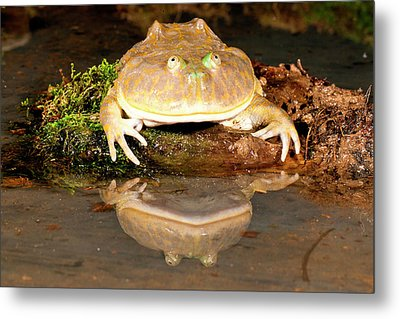 Budgett's Frog, Lepidobatrachus Asper Metal Print