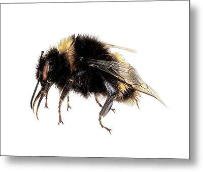 Buff-tailed Bumblebee Metal Print
