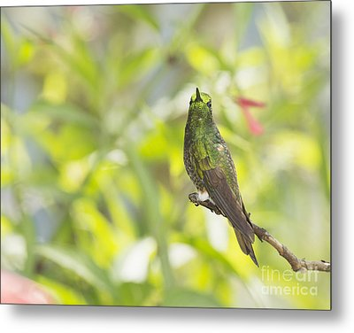 Buff-tailed Coronet Hummingbird Metal Print