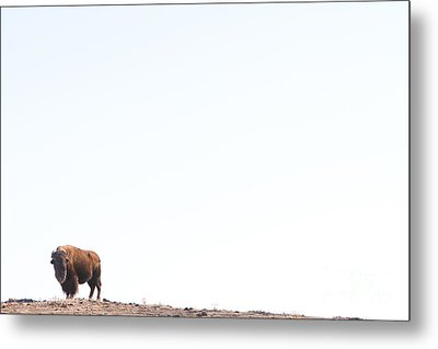 Buffalo Country Metal Print