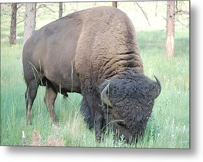 Buffalo Metal Print by William Howard