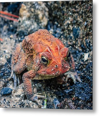 Metal Print featuring the photograph Bufo Terrestris by Rob Sellers