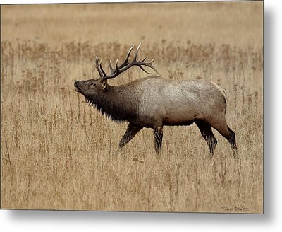 Metal Print featuring the photograph Bugling Bull by Daniel Behm