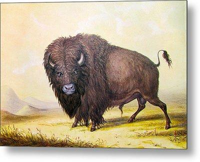Bull Buffalo Metal Print
