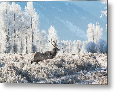 Metal Print featuring the photograph Bull Elk At Winter Dawn by Yeates Photography