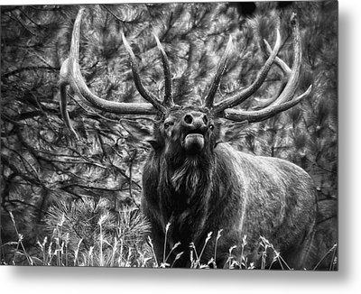 Bull Elk Bugling Black And White Metal Print