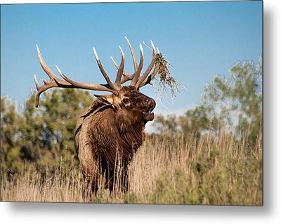 Bull Elk Call Metal Print