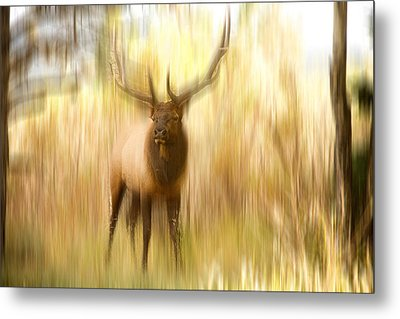 Bull Elk Forest Dreaming Metal Print by James BO  Insogna